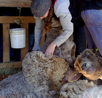Shearing Day at Rising Meadow Farm