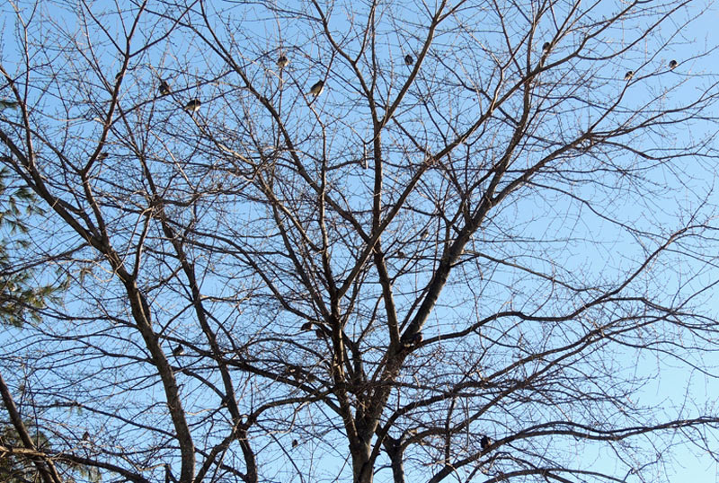The trees in my backyard on Sunday (January 24, 2016) were filled with robins.